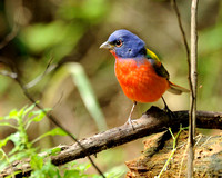 Painted Bunting, Laffites Cove, Galveston, TX