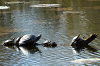 Turtles Brazos Bend State Park Texas USA