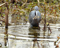 Little Blue Heron & Fish, Brazos Bend, Texas