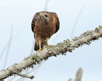 Red Shouldered Hawk, Brazos Bend,TX