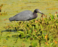 Little Blue Heron Catching Frog #2 Sequence Brazos Bend TX.