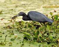 Little Blue Heron Catching Frog #1 Sequence Brazos Bend TX.