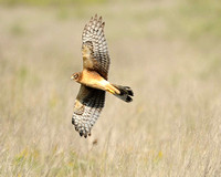 Northern Harrier, San Bernard NWR, TX
