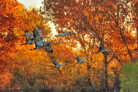 Sandhill Cranes Dawn Lift Off Bosque Del Apache NM.