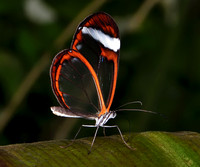 Glasswing Butterfly, South America